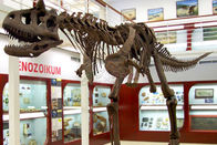 Museum Standard Fiberglass Complete Dinosaur Fossil With Anti Rust Steel Frame