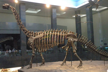 China Life Size Fiberglass Complete Dinosaur Fossil For Park Exhibition factory